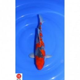 20KAN03 - Goshiki