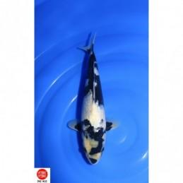 20YAN01 - Ginrin Shiro Utsuri