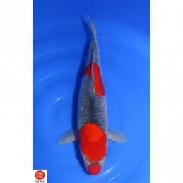 19KOD52 - Goshiki